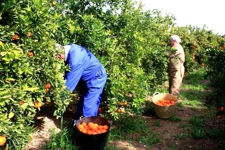 сбор урожая в Испании