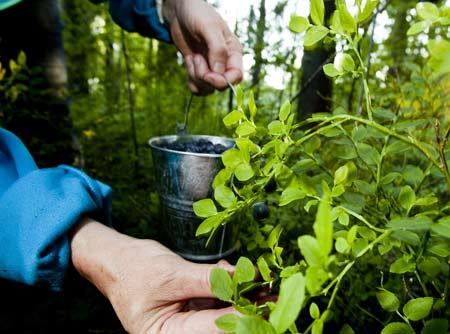 сбор лесных ягод в Финляндии