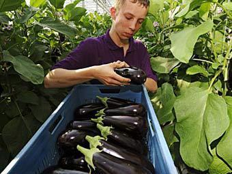 Работа по сбору овощей и фруктов