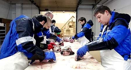разделка рыбы в Норвегии