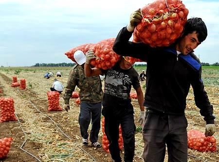 сбор овощей в киргизии