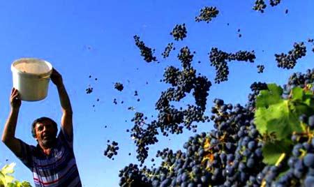 сбор винограда грузия