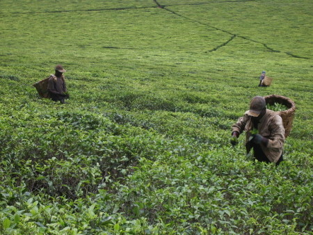 Нду.Чайные плантации