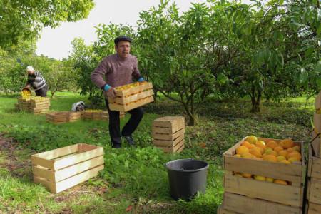 Работа по сбору мандаринов