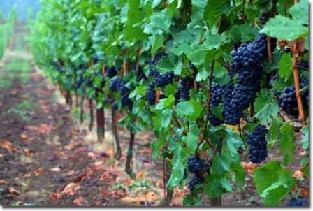 Виноградники Молдовы