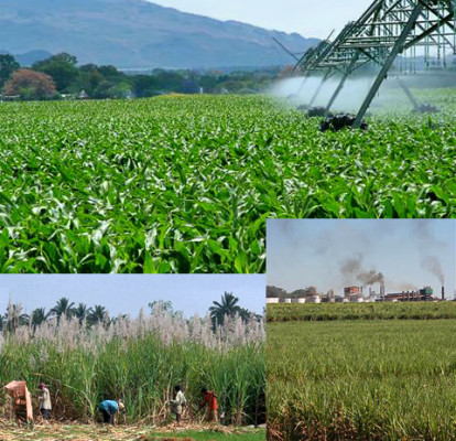 На плантациях сахарного тростника