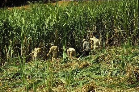 работа на плантации тростника