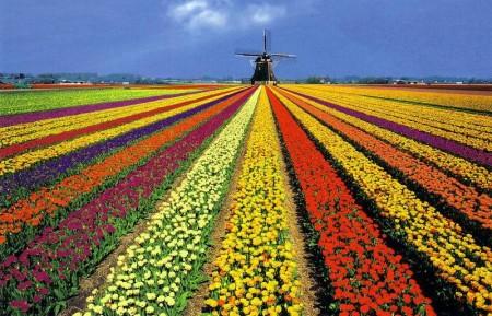 Цветочные поля Нидерландов
