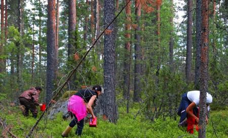 Работа по сбору лесных ягод в Финляндии