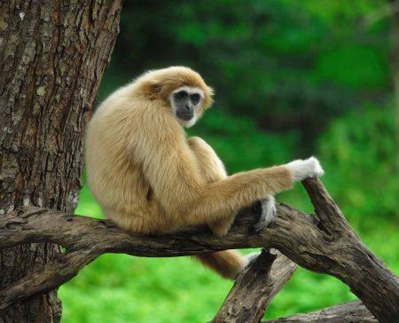 Гиббоны- небольшие обезьяны, у которых руки намного