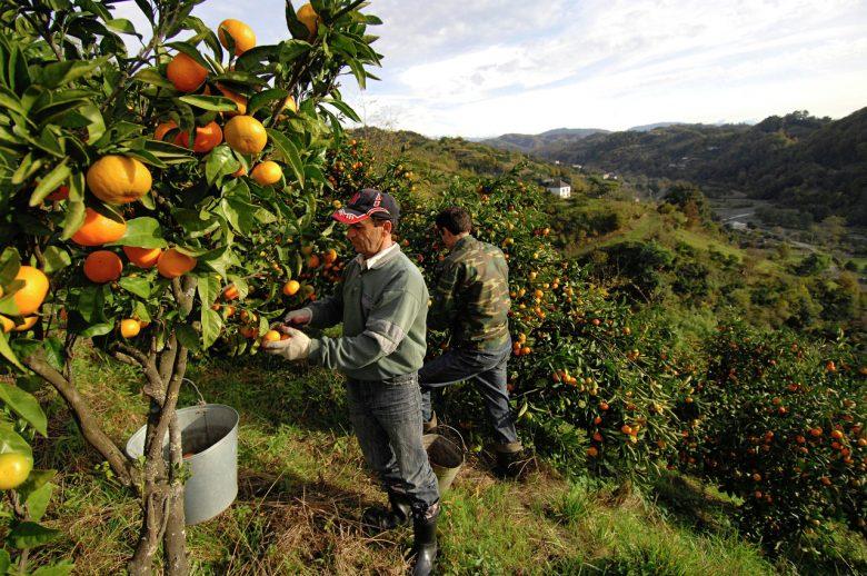 Сбор урожая апельсинов в Испании