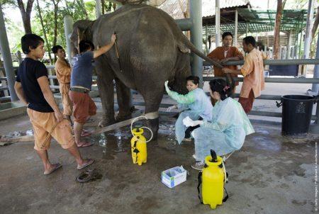 медицинская помощь слонам в Таиланде