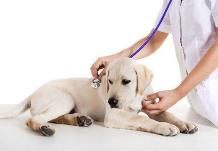 клинический осмотр собаки