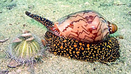 Ядовитый моллюск, обитающий в водах Таиланда