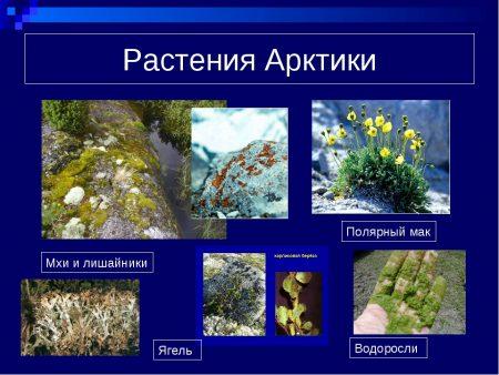 Растения Арктики