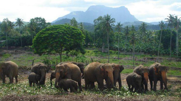 Слоны в Шри-Ланке