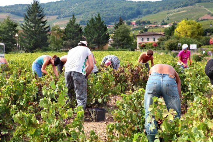 Божоле, Франция - 17 сентября, 2012: Работники, сбор винограда.