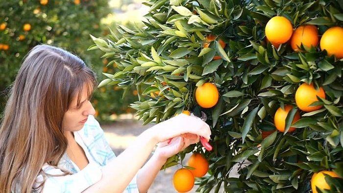 Сбор апельсинов в Испании