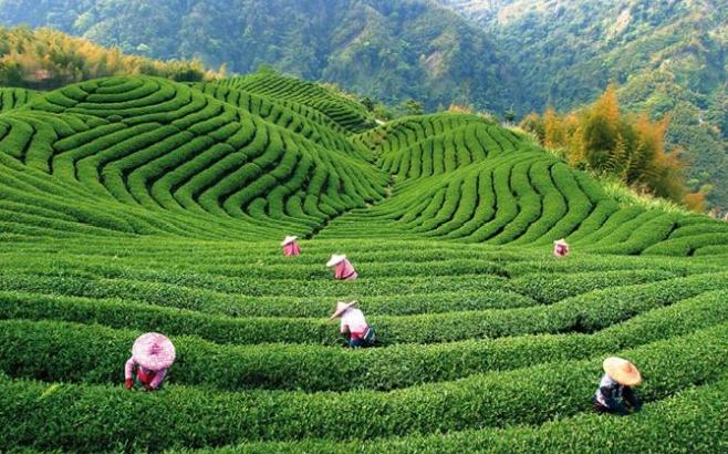 чай в Шри-Ланке