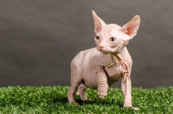 Котенок породы донской сфинкс