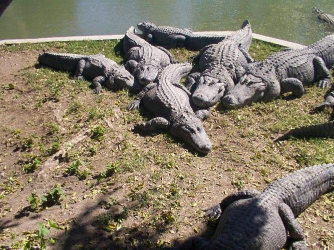 крокодилы на ферме в Хамат-Гадере