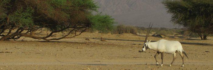 Антилопа в заповеднике Хай Бар Йотвата