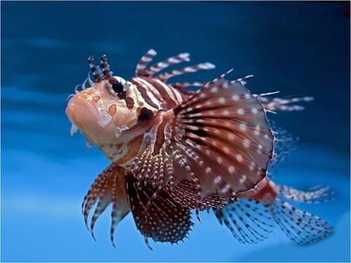Морская крылатка