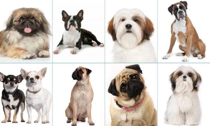 Собаки брахицефальных пород