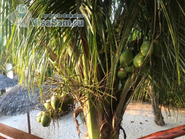 кокосы на Занзибаре